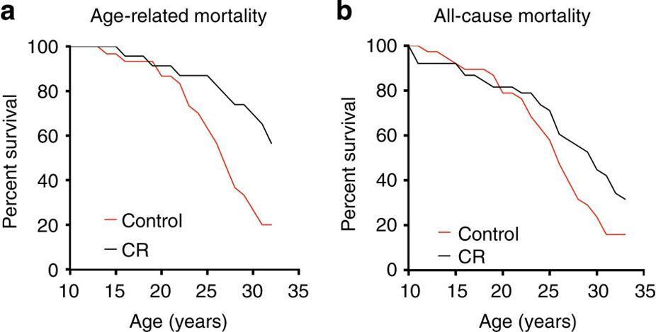 Обезьяны, потребляющие меньше калорий, живут дольше