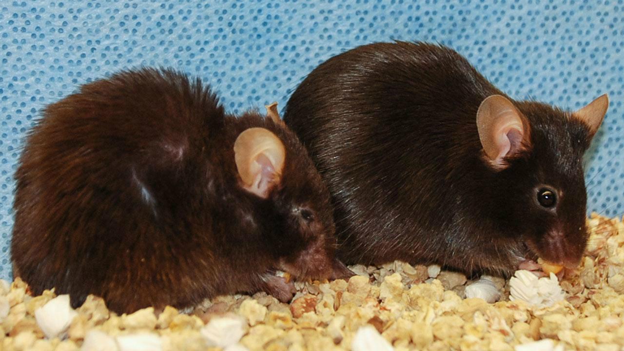 Жизнь мышей продлили на 35%, очистив их организм от стареющих клеток