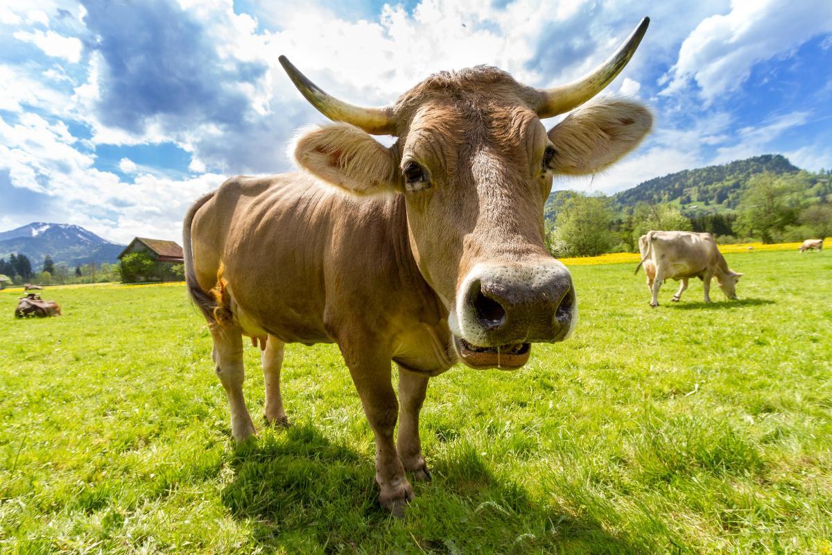 Технология CRISPR/Cas9 впервые помогла создать устойчивых к туберкулёзу коров