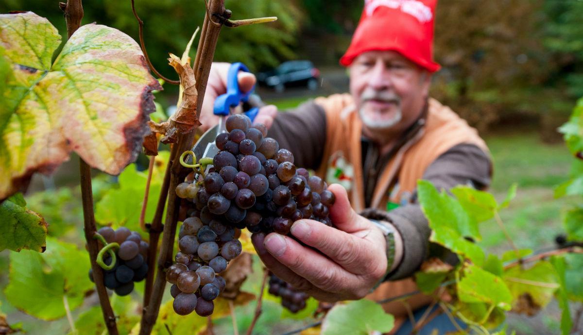 Две чашки винограда в день могут предотвратить болезнь Альцгеймера