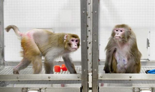 обезьяны потребляющие меньше калорий живут дольше