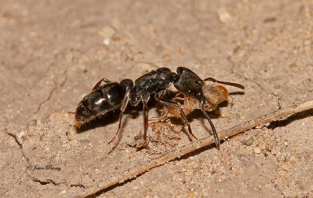 муравьи топают громче термитов
