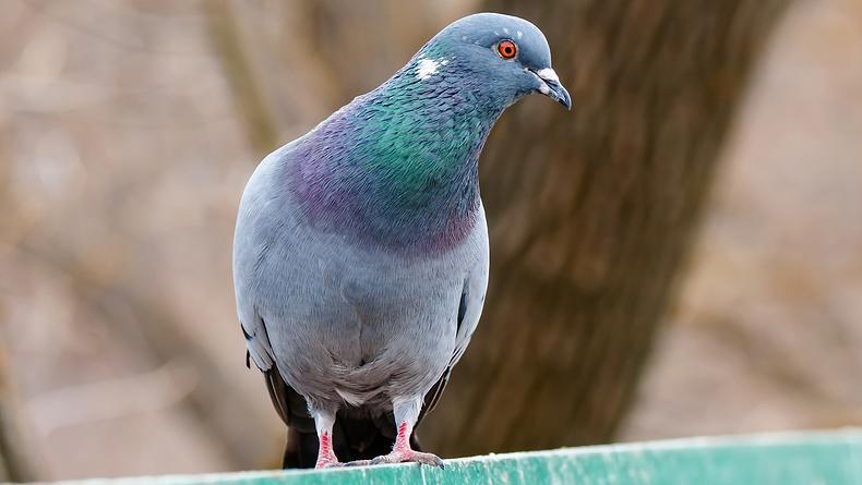 голуби могут диагностировать рак