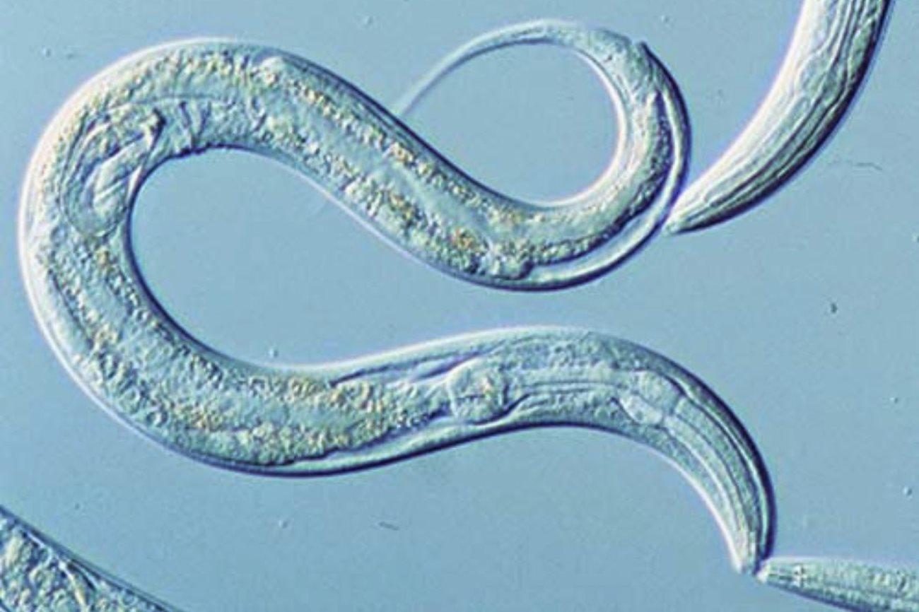 Открыта двойная мутация, существенно увеличивающая продолжительность жизни червей
