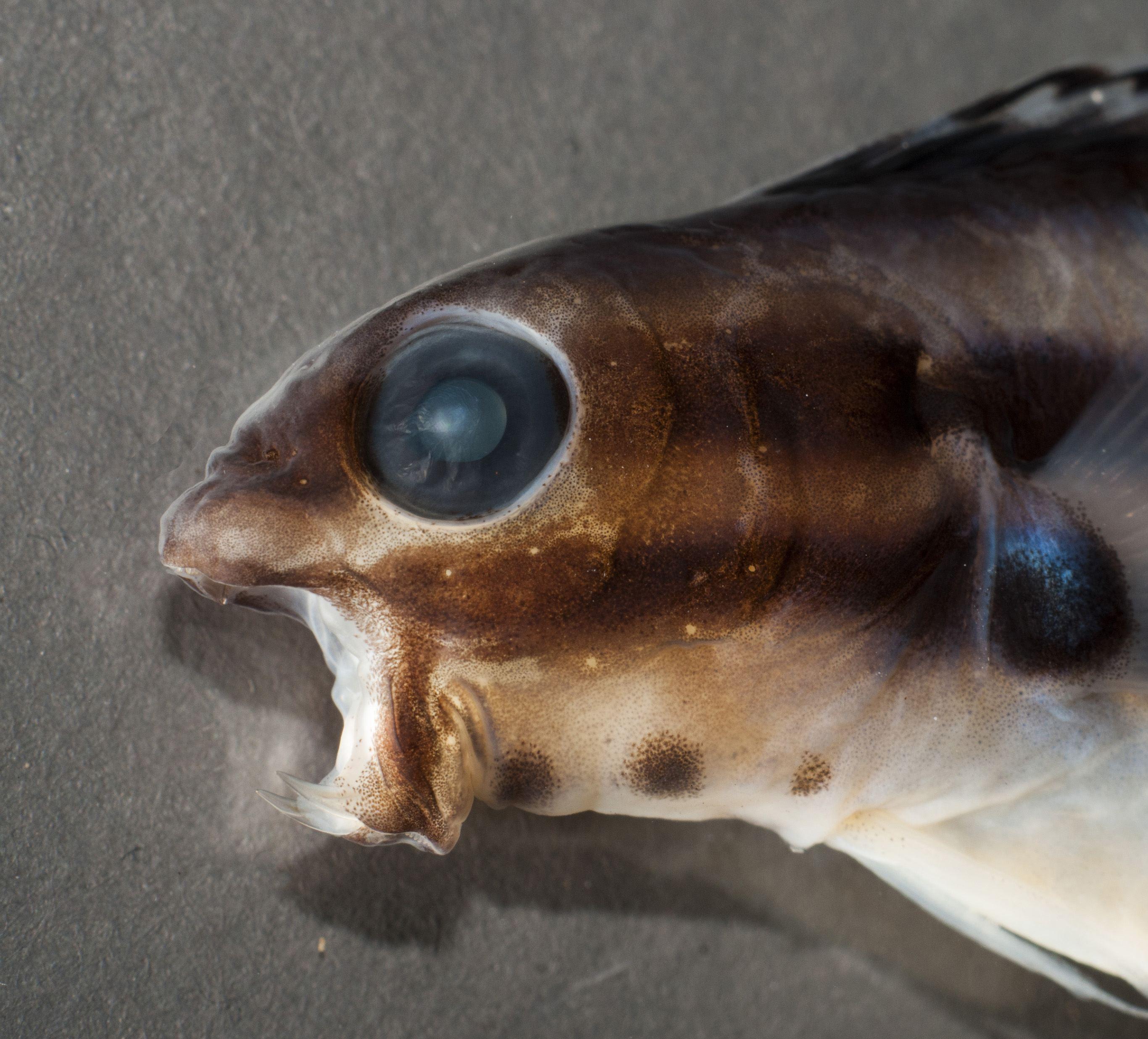Морские опиумные вампиры: рыбы с самым необычным ядом