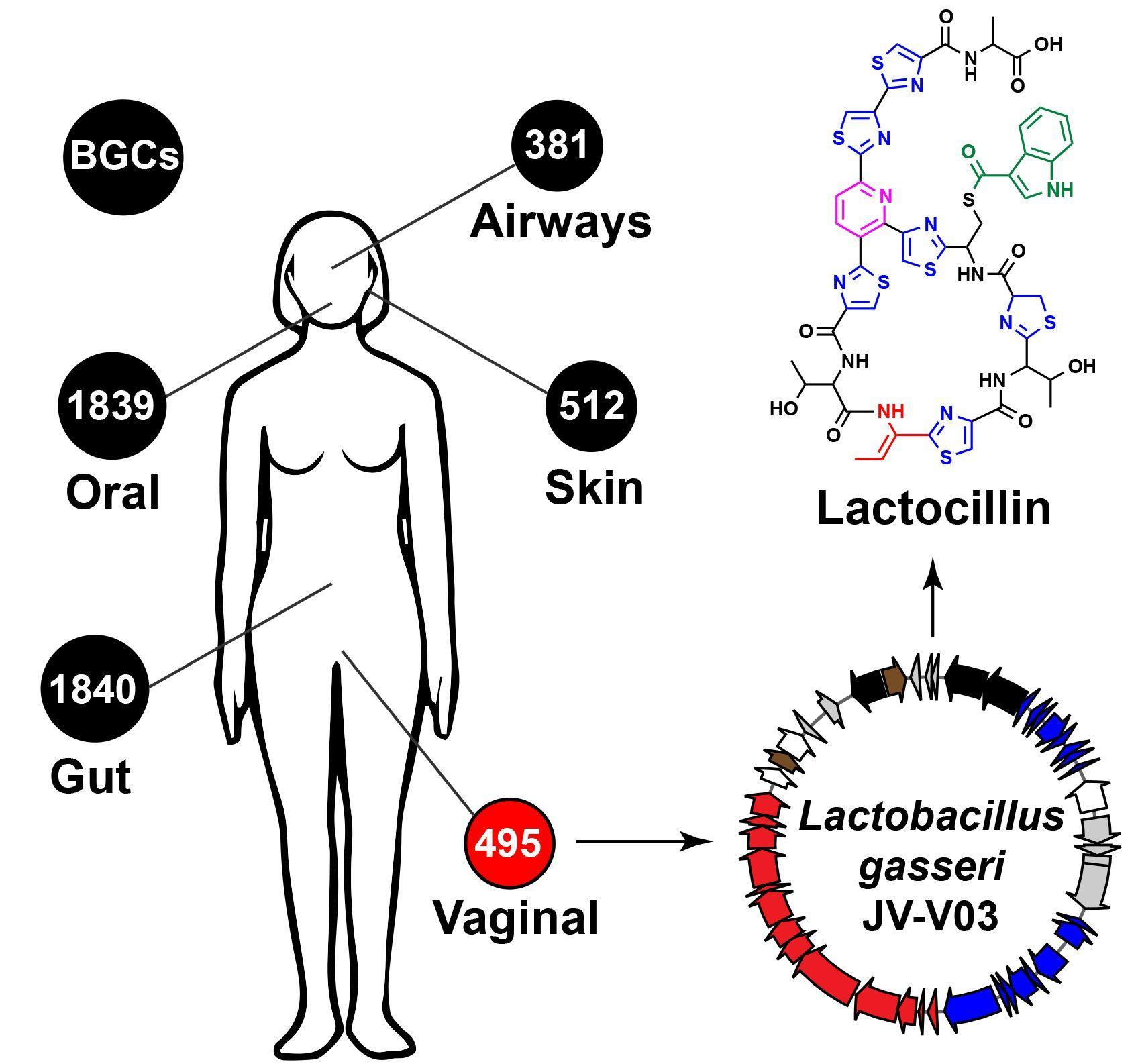 Микробы в человеческом теле являются источником лекарств