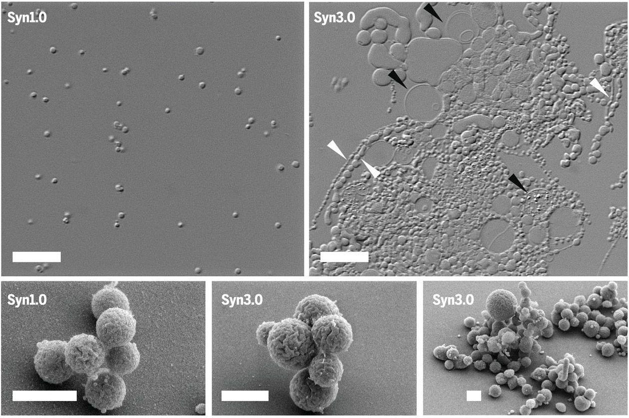 Создан первый синтетический организм с минимальным геномом