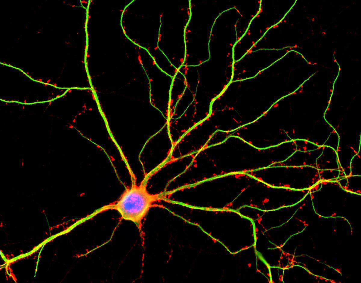У нервных клеток нашли неучтенную активность