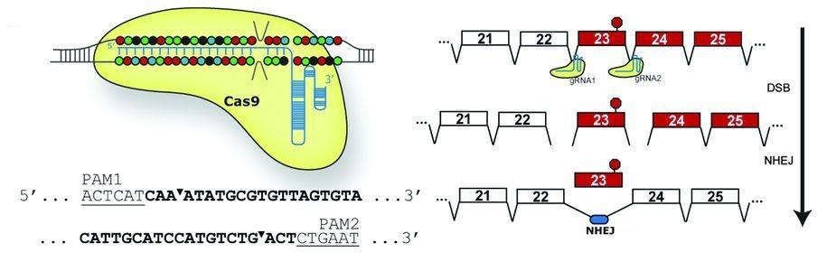 CRISPR позволила исправить смертельно опасные мутации во взрослом организме