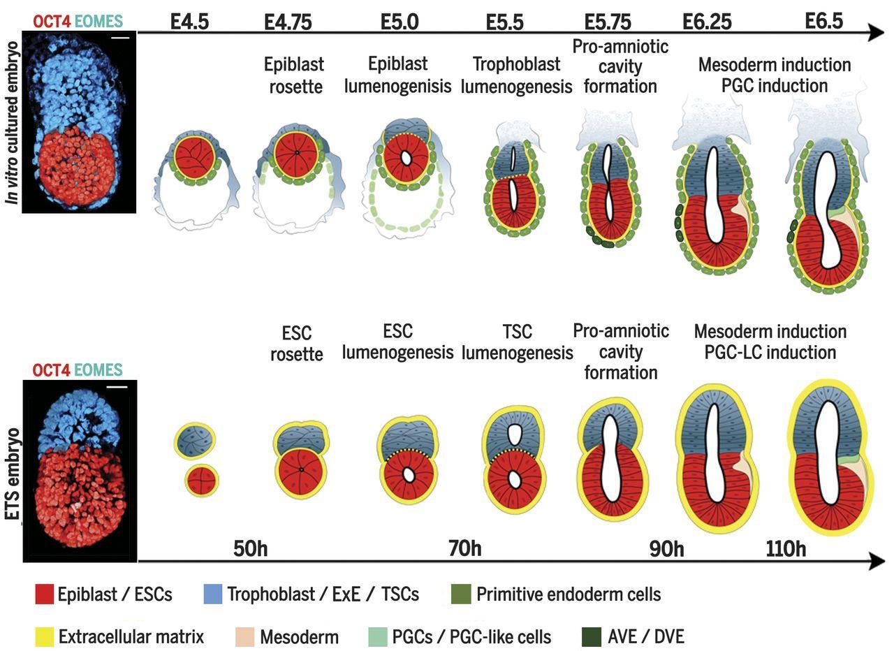 Ученые создали эмбрион мыши из стволовых клеток