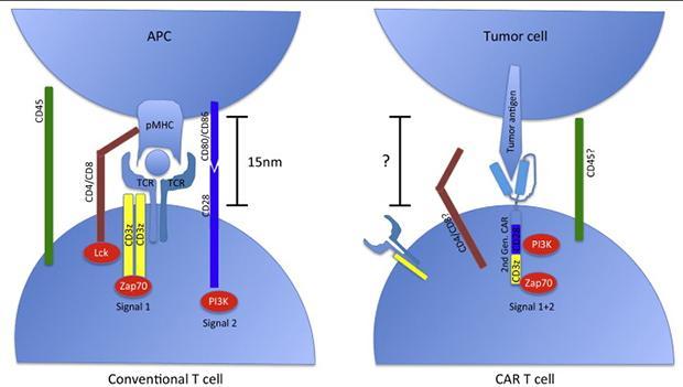 химера против рака