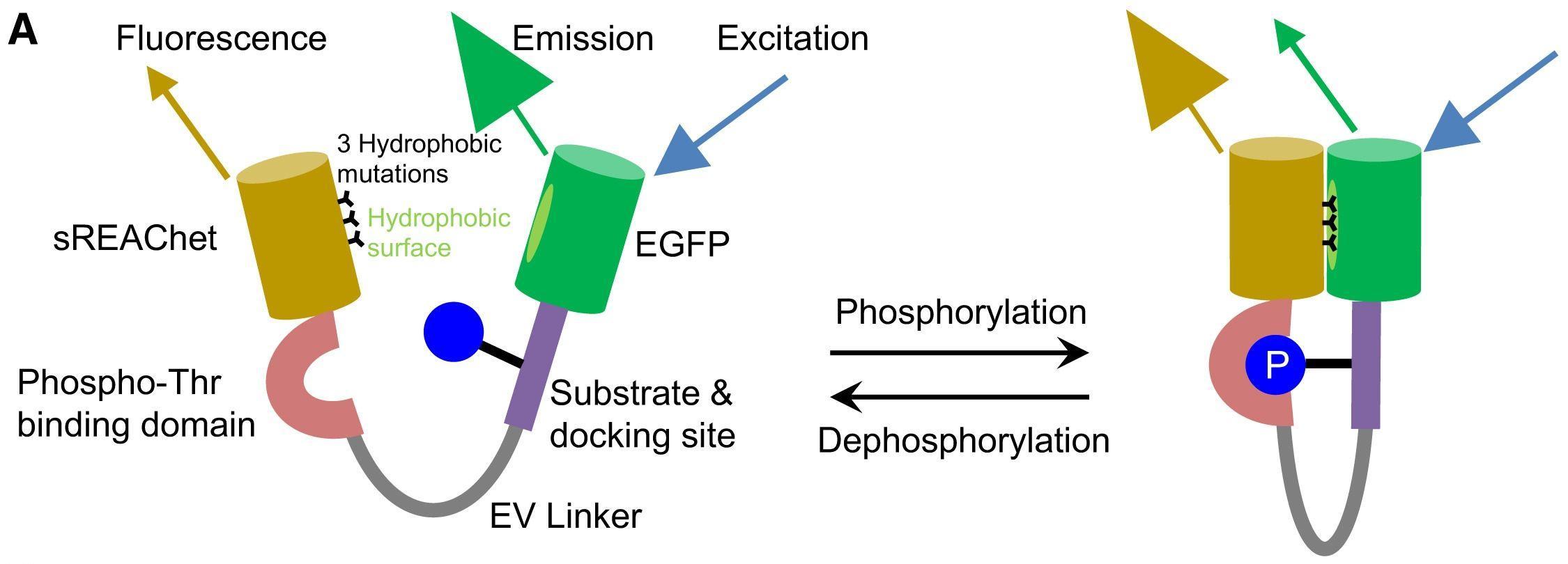 Новый биосенсор сможет измерять пластичность мозга