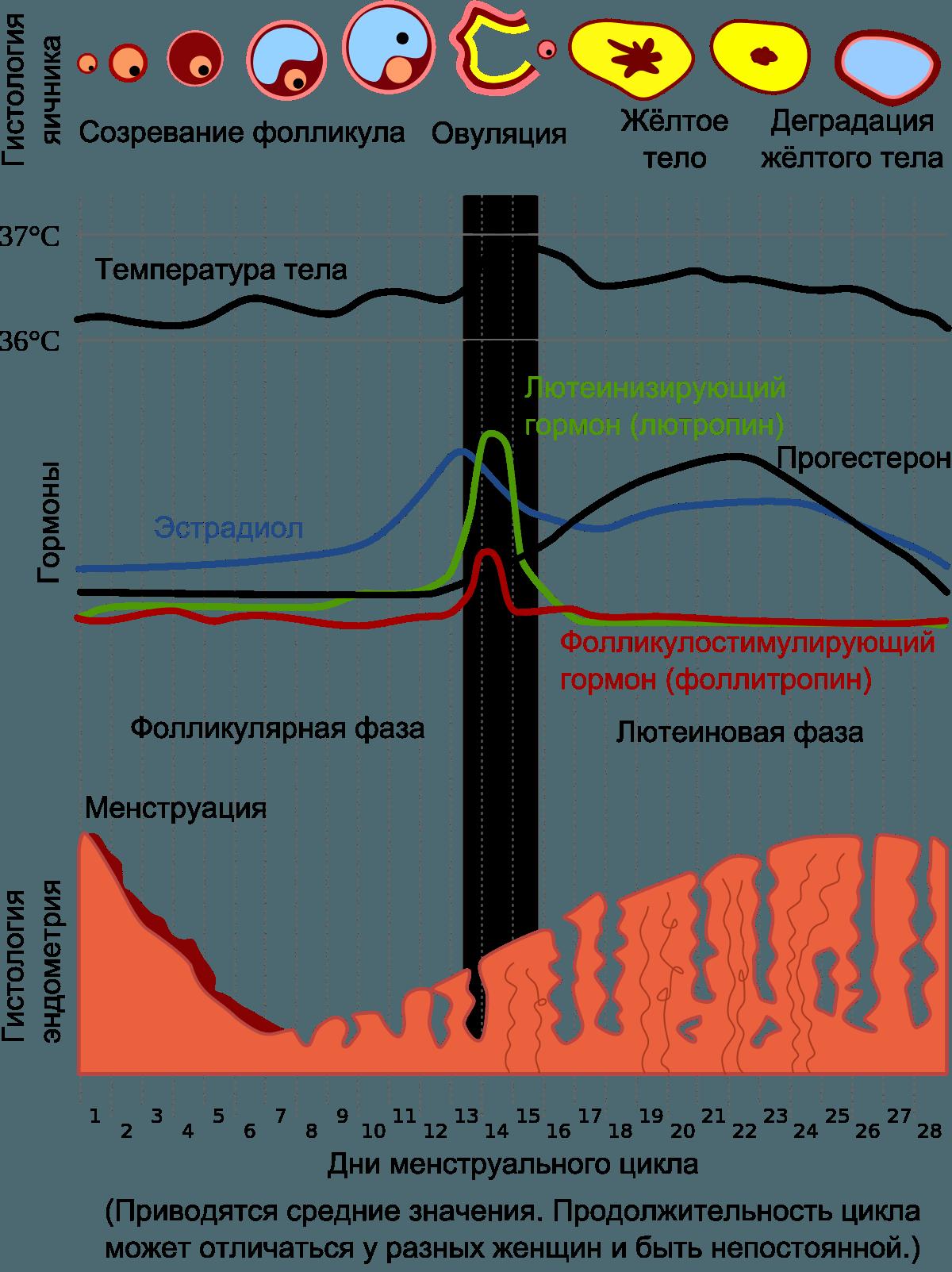 Орган-на-чипе воспроизвел менструальный цикл