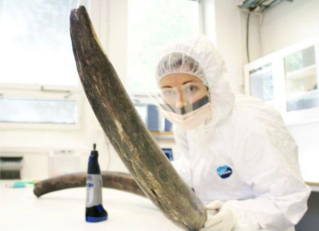 геном шерстистого мамонта поведал историю вымирания вида
