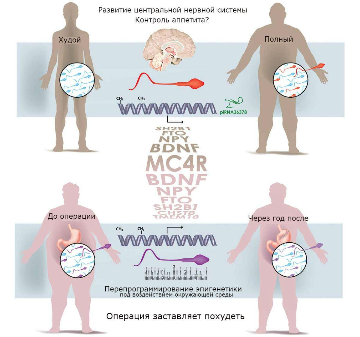 Избыточный вес заставляет организм мужчин создавать сперму с тысячами генных мутаций