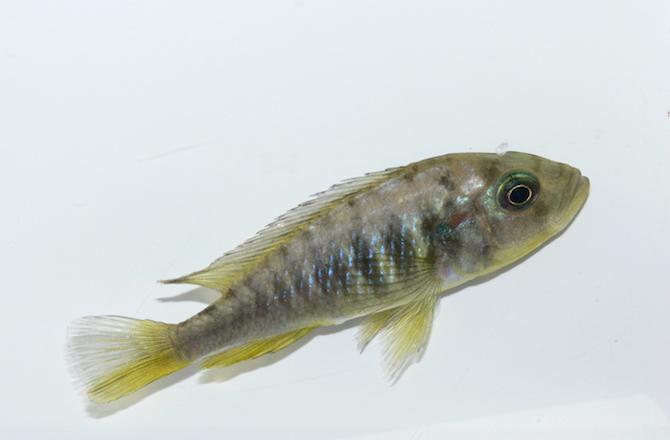 самки рыбы-цихлиды могут отращивать себе яички