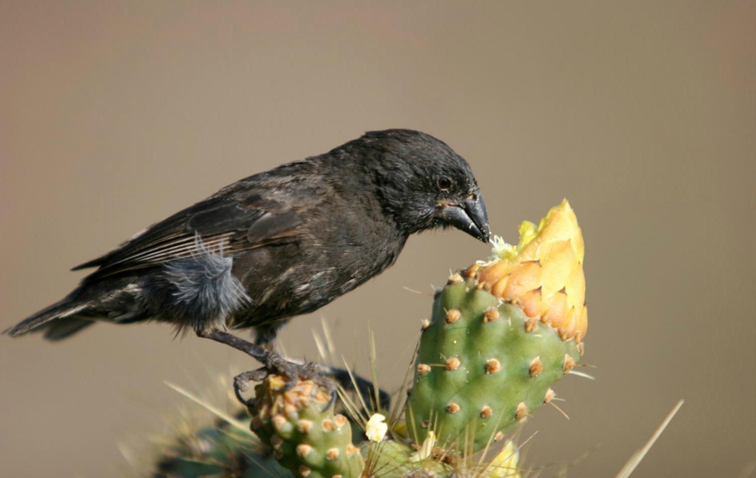 эволюция дарвиновых вьюрков была отслежена на генетическом уровне