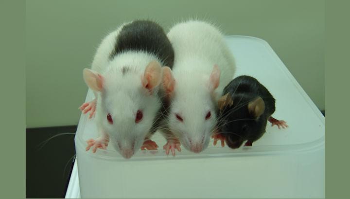 мышь спасли от диабета, пересадив поджелудочную железу
