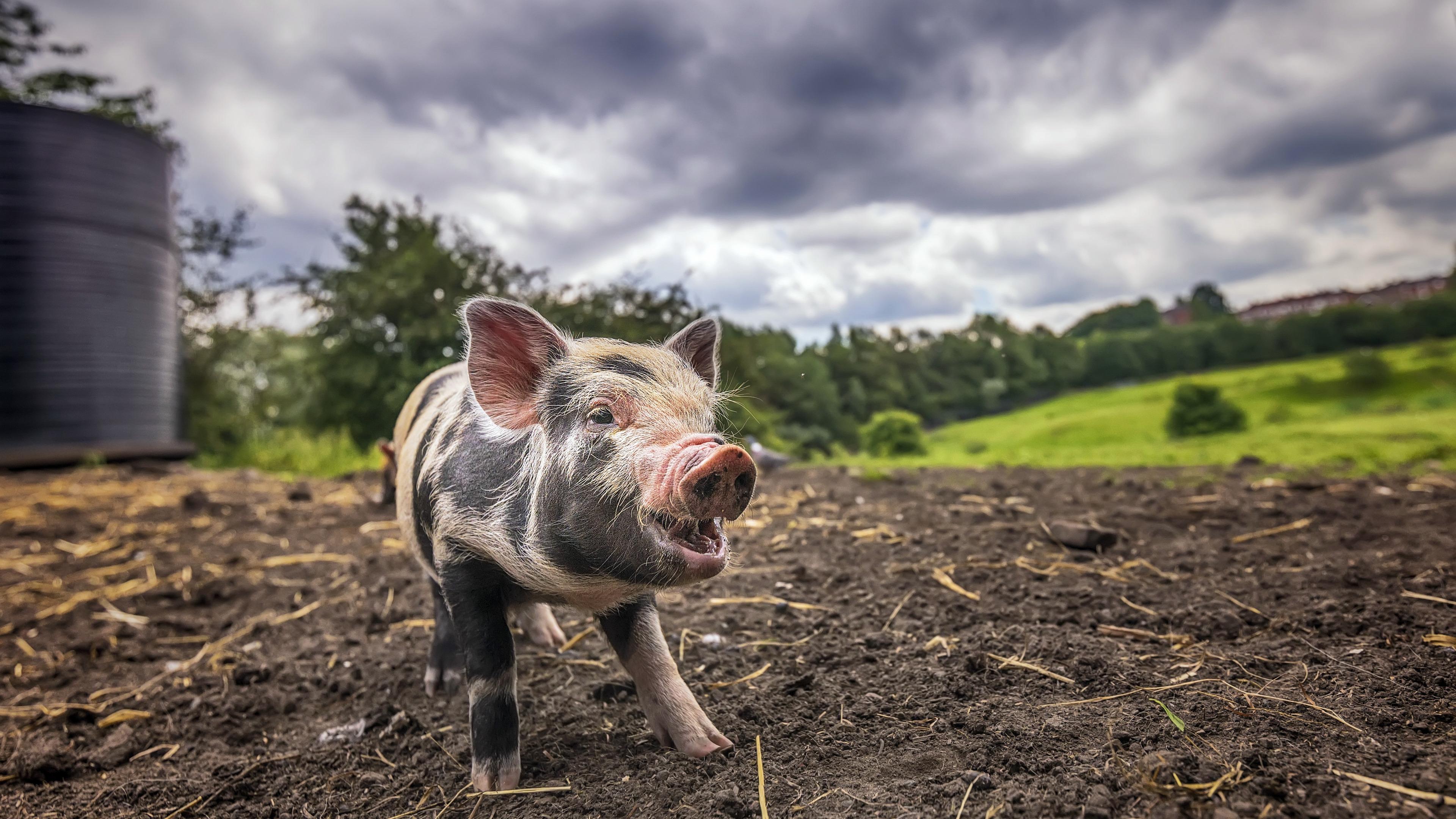 Свиней превратят в неиссякаемый источник донорских органов