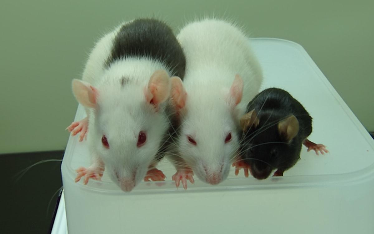 Мышь спасли от диабета, пересадив поджелудочную железу, выращенную в теле крысы