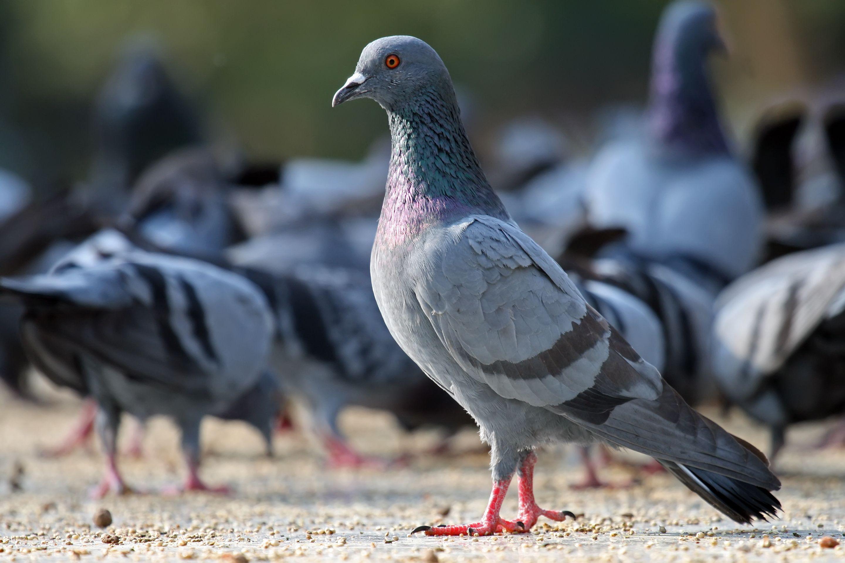 Эволюцию проиллюстрировали голубями и пухоедами