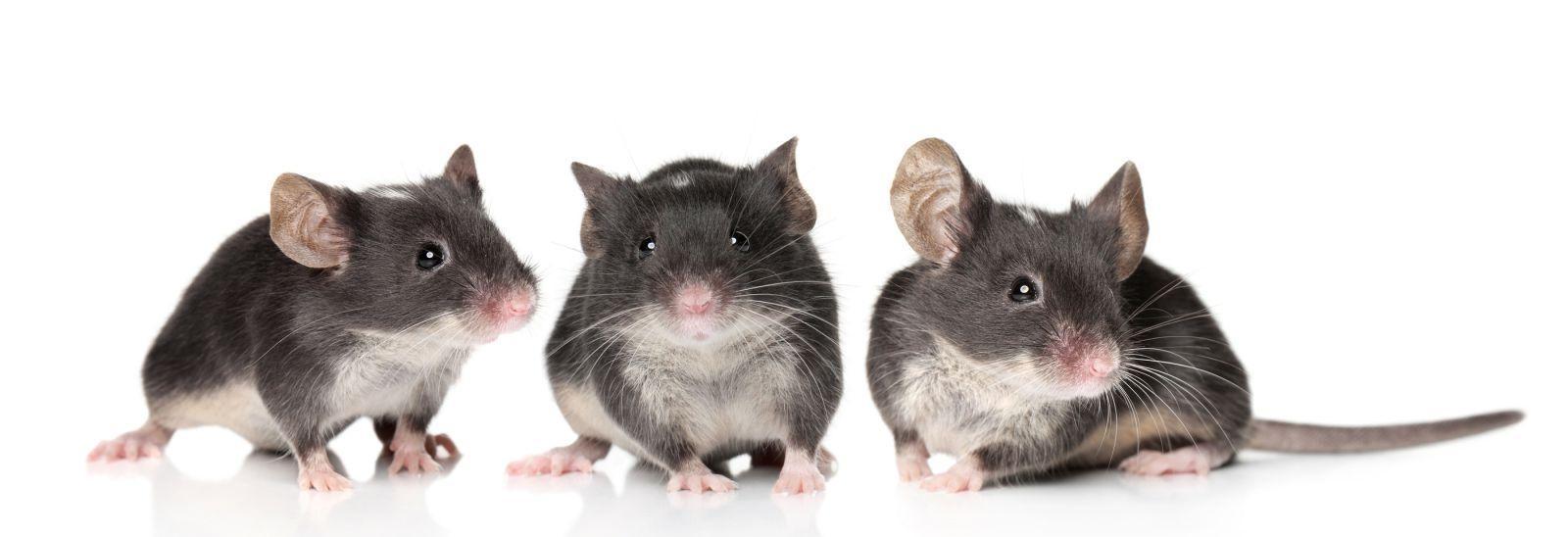 Короткий курс иммуносупрессанта продлил жизнь мышей