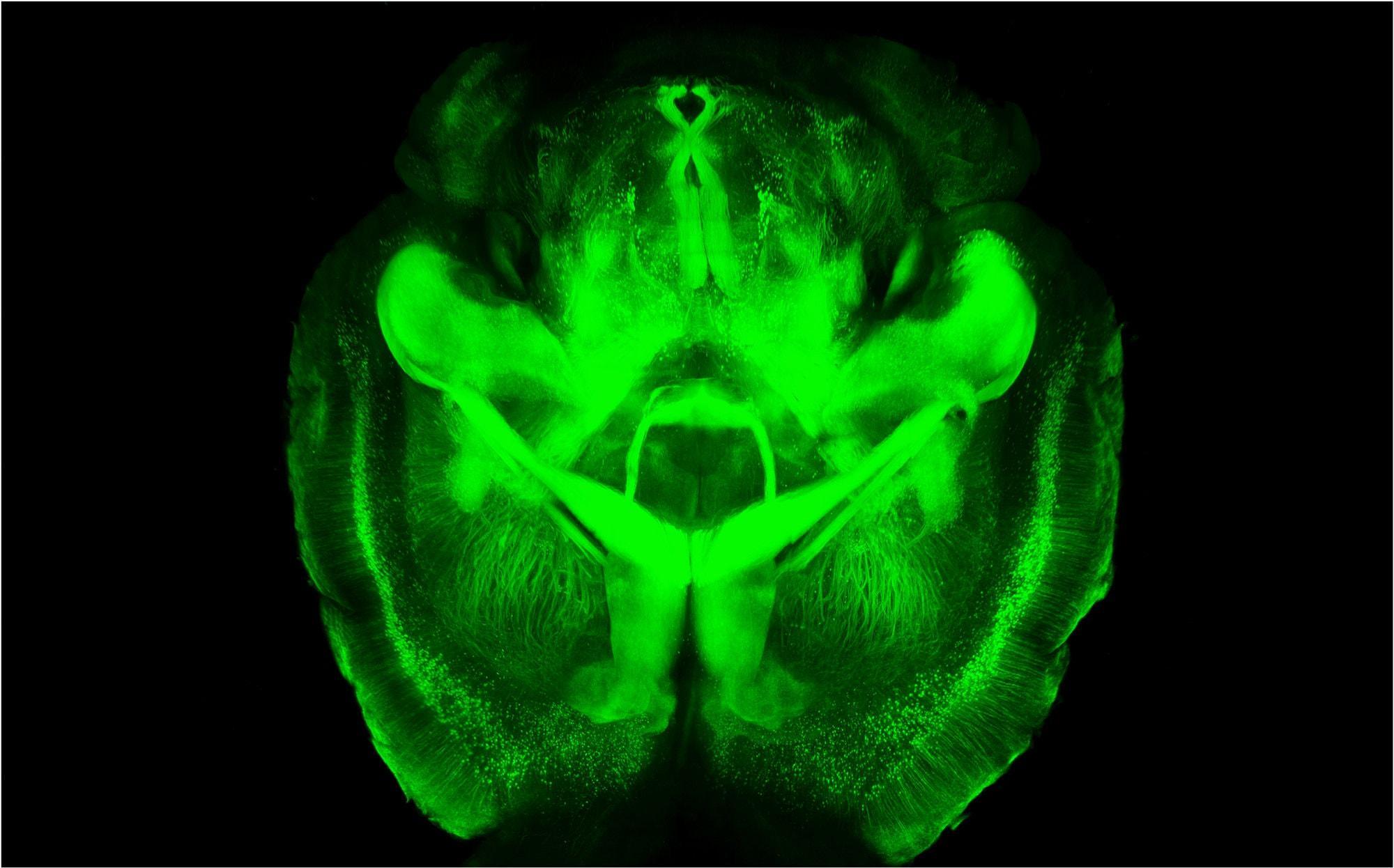 Ученые сделали мозг мыши прозрачным и создали его трехмерную модель