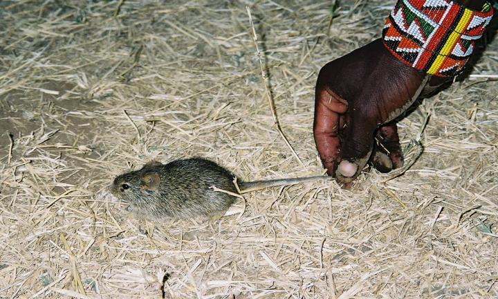 когда мыши пришли к людям
