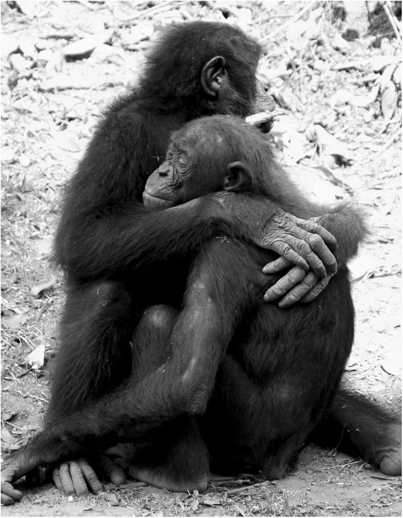 Обезьяны утешают друг друга как люди