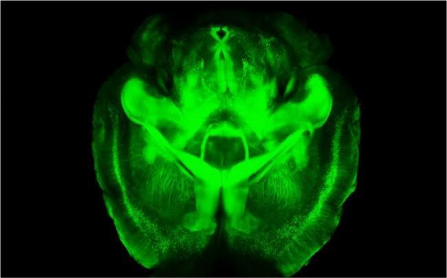 ученые сделали мозг мыши прозрачным