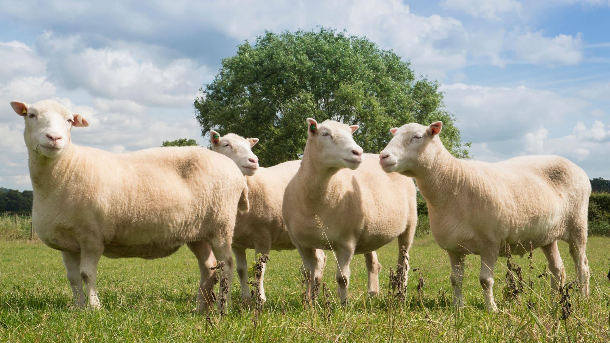 Клоны овечки Долли доказали, что генетические копии животных могут жить долго и счастливо