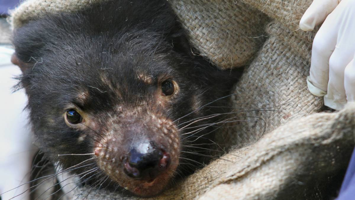 Исчезающим тасманийским дьяволам выделили собственный остров