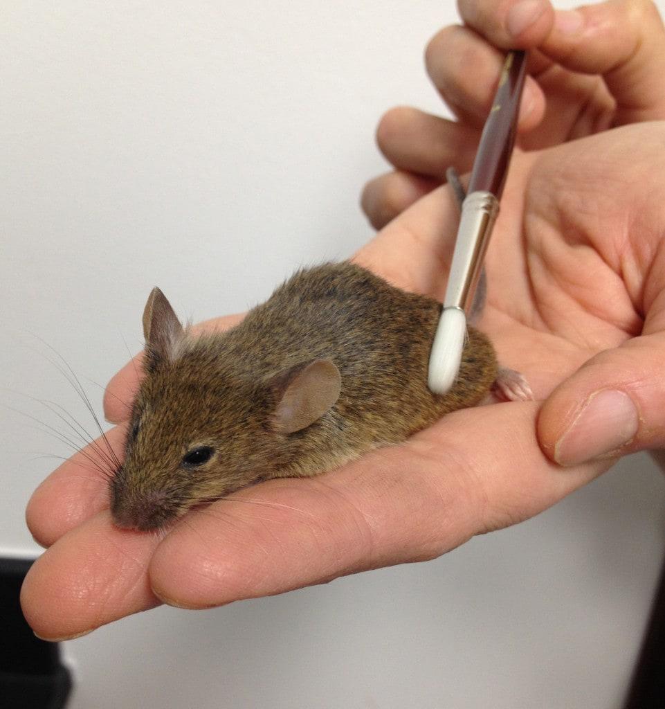 Учёные нашли в коже мышей клетки удовольствия