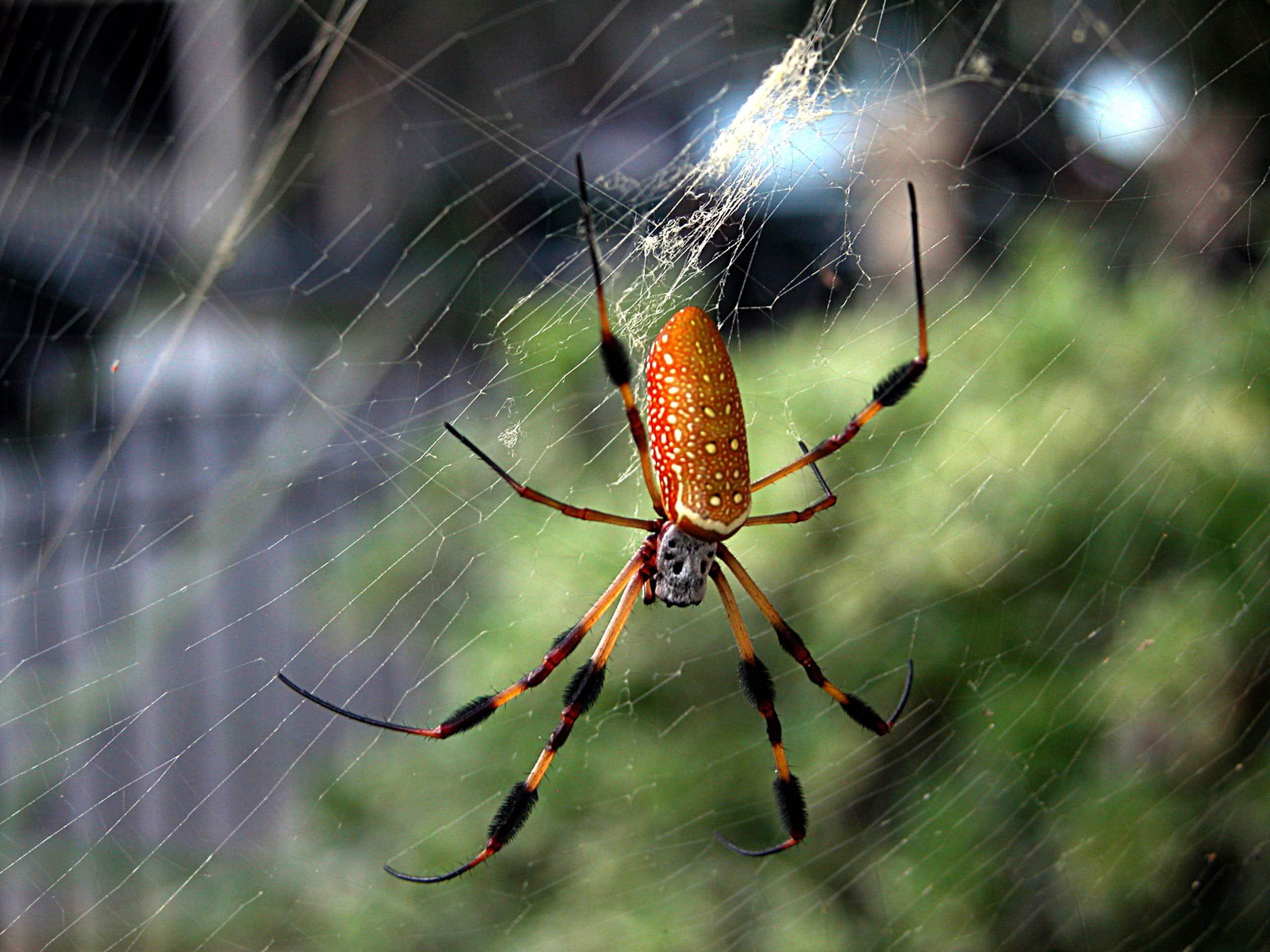 Городские пауки оказались крупнее деревенских