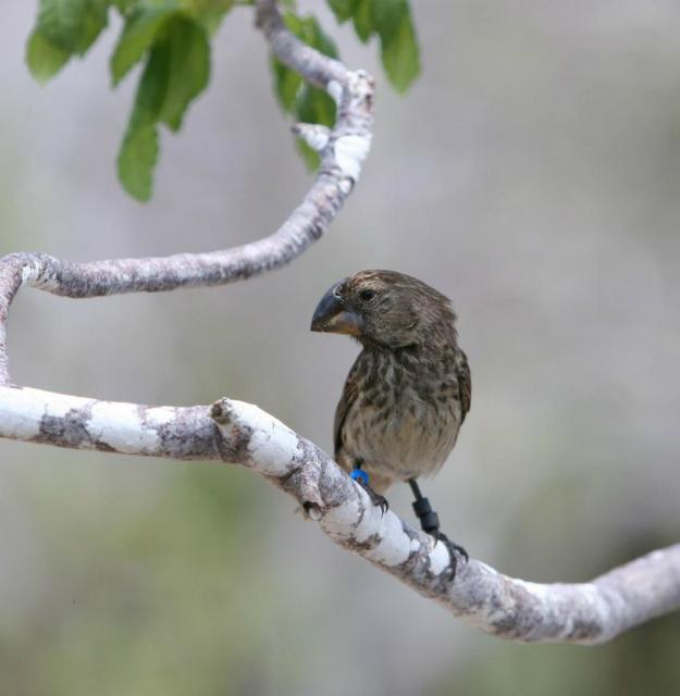 геномы дарвиновых вьюрков рассказали об адаптации и эволюции птиц