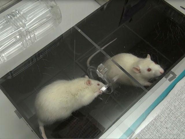 крысы готовы пренебречь шоколадом ради спасения тонущего товарища
