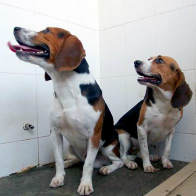 первые генетически модифицированные собаки выведены в Китае