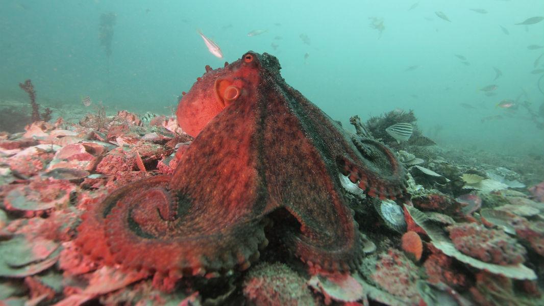 осьминоги используют язык тела для разрешения конфликтов