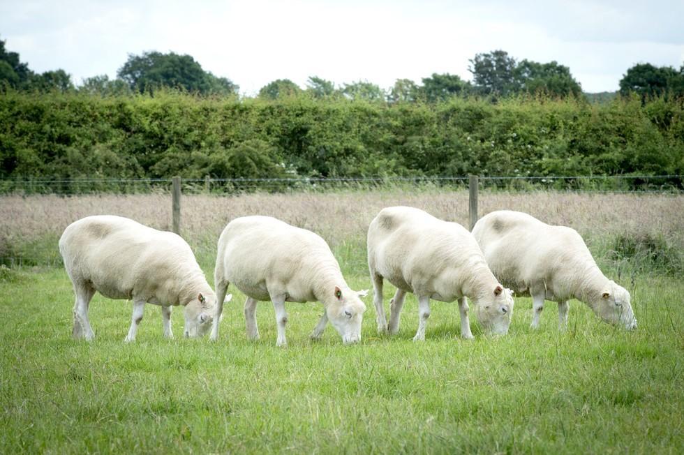 клоны овечки Долли доказали, что генетические копии животных могут жить долго