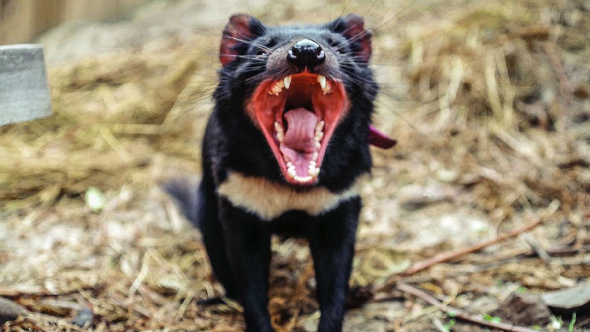тасманийские дьяволы очень быстро эволюционировали, чтобы избежать вымирания