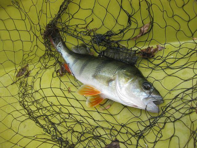 снотворное и успокоительное людей делают рыб бесстрашными одиночками