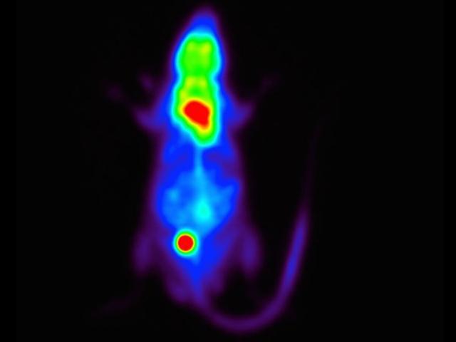 эксперимент на мышах помог открыть новый способ сжигания калорий