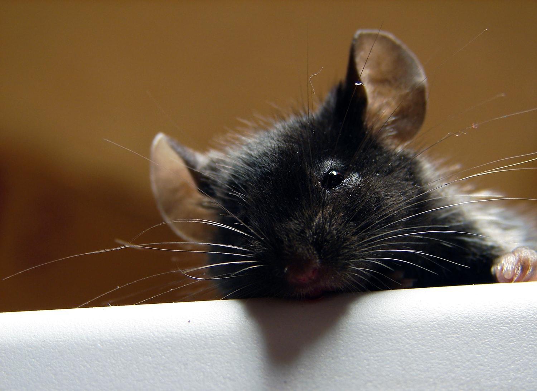 Как марихуана заставила крыс лениться