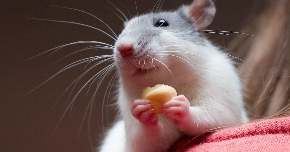 Крысы испытывают сожаление после принятия неверных решений