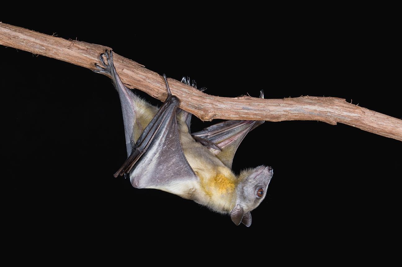 Почему летучие мыши хорошо переносят вирус Эбола и другие смертельные заболевания?