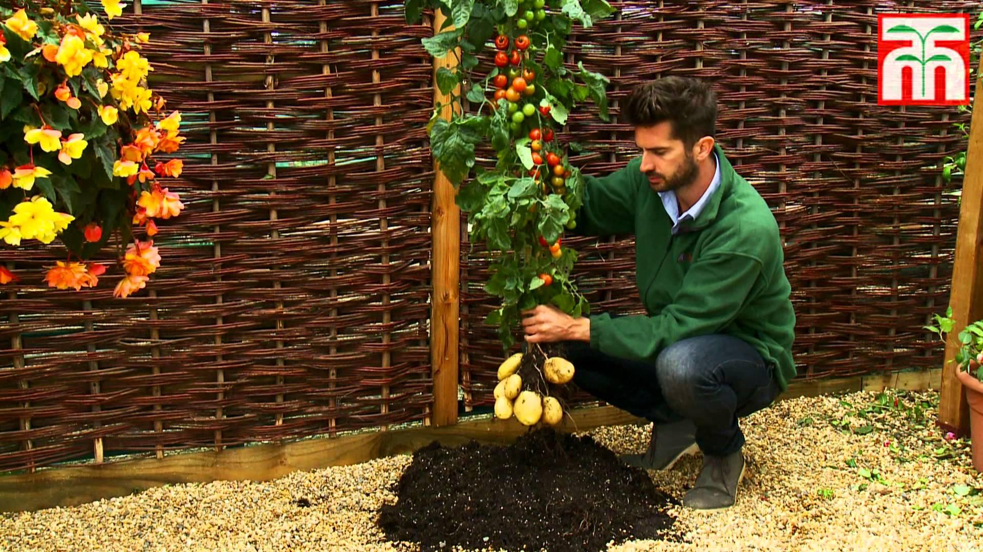 Урожай помидоров и картофеля с одного куста