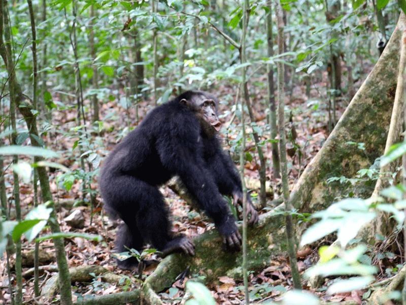 внешний враг сплотил шимпанзе на гормональном уровне