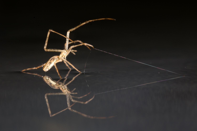 У сухопутных пауков нашли навыки «хождения под парусом»