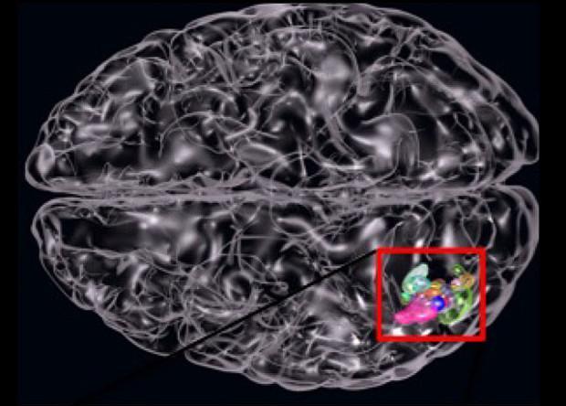 способность к изучению второго языка предсказали по фМРТ