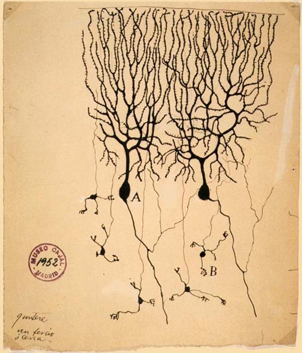 клетки Пуркинье